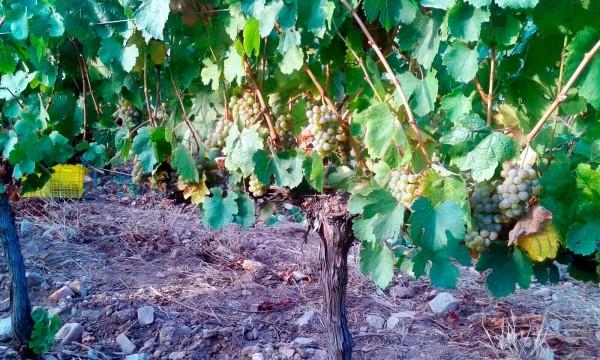 Valdeorras Vine