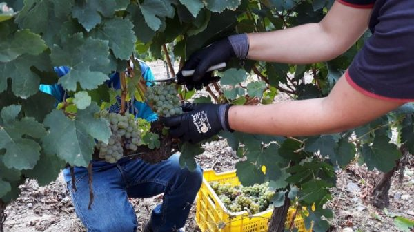 This has been the 2018 harvest in A Coroa Winery