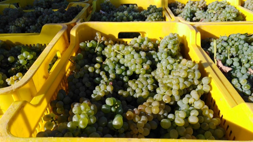 THE GREAT QUALITY OF THE GRAPE DETERMINES THE 2019 HARVEST IN ADEGA A COROA