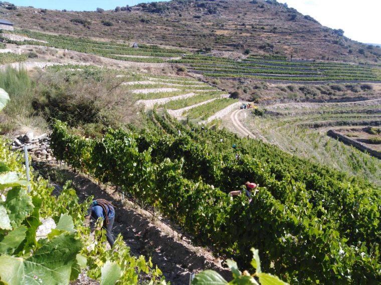 THE GREAT QUALITY OF THE GRAPE DETERMINES THE 2020 HARVEST IN ADEGA A COROA