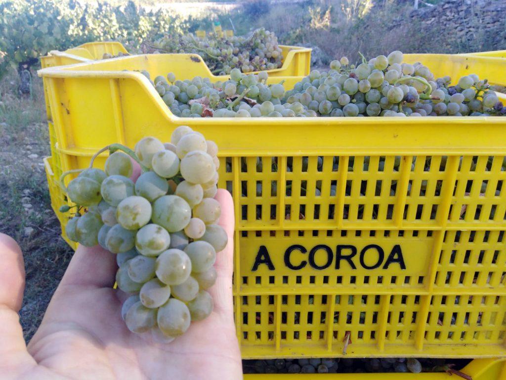 Vendimia, godello, a coroa, comprar, online, Datos Oficiales de la vendimia 2020 en Adega A Coroa